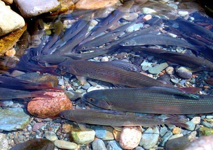 Рыба в реках Алтая