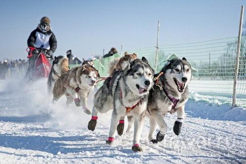 на собачьей упряжке в Алтае